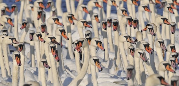 800 mute swan's were rounded up