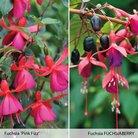 CFM Gardening Free Fuchsia