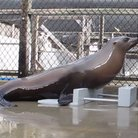Sea lion keeps tempo