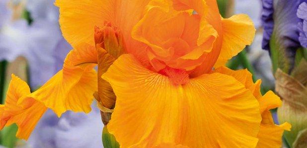 CFM Gardening Re blooming iris